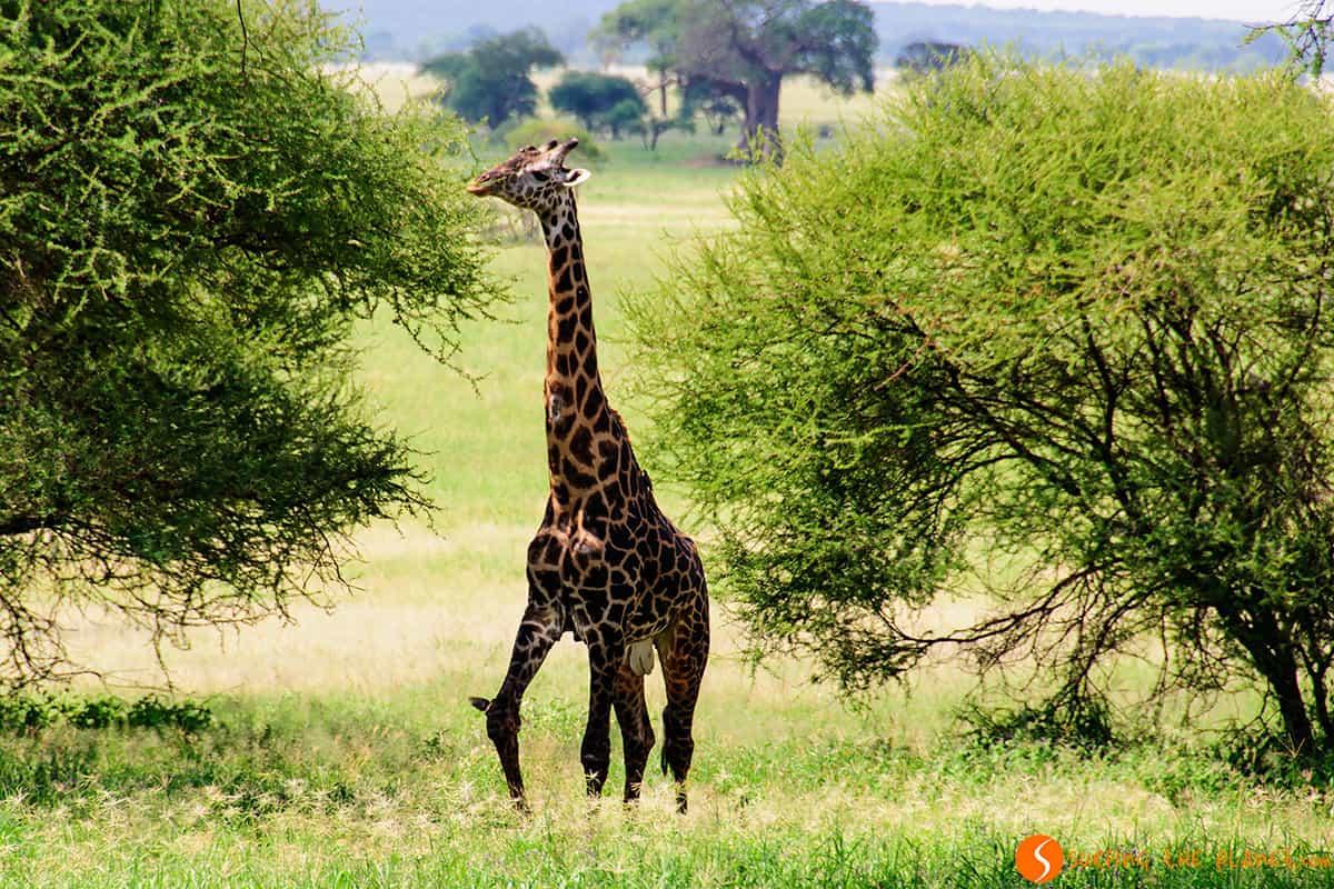 Giraffe in Tarangire Park