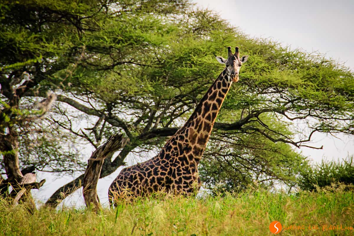 A giraffe staring at us in Tarangire Park