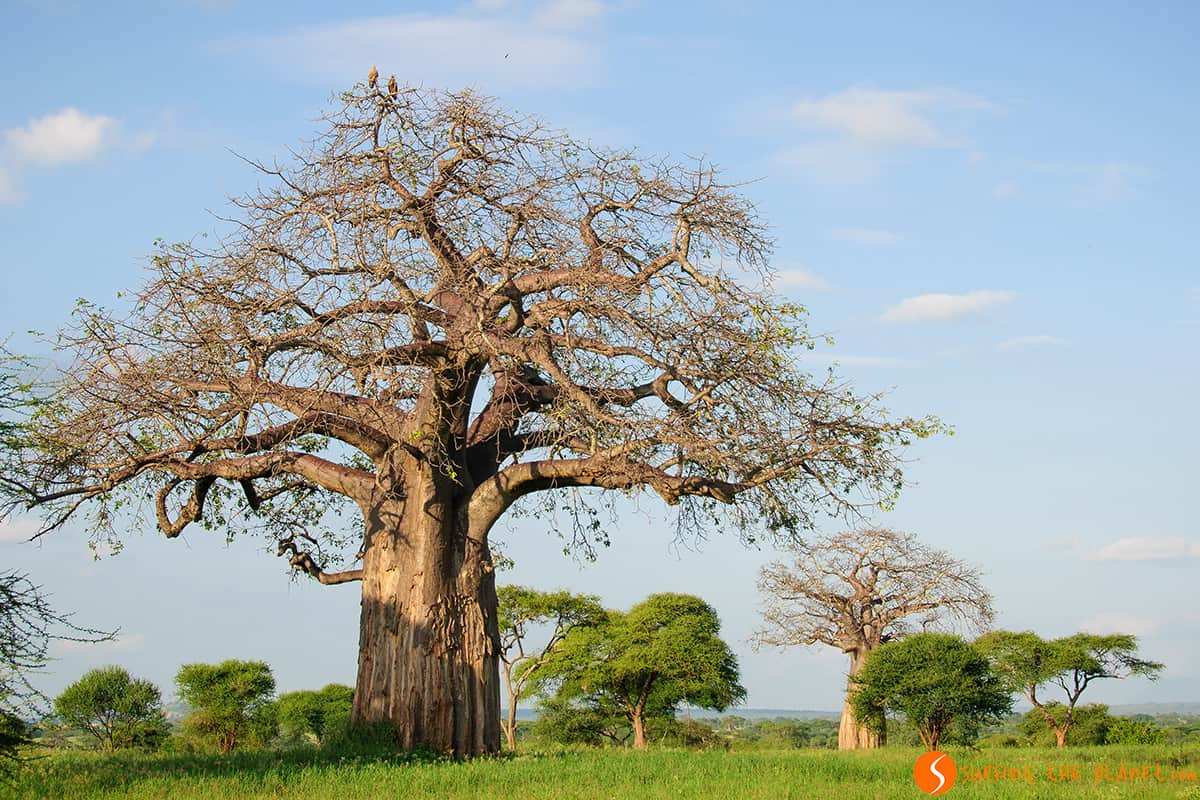 Baobab tree with a couple of eagles on top - Tarangire Tanzania