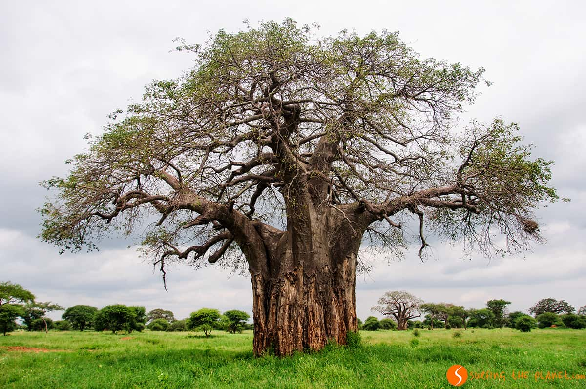 Visiting Tanzania - Baobab tree in Tarangire Park