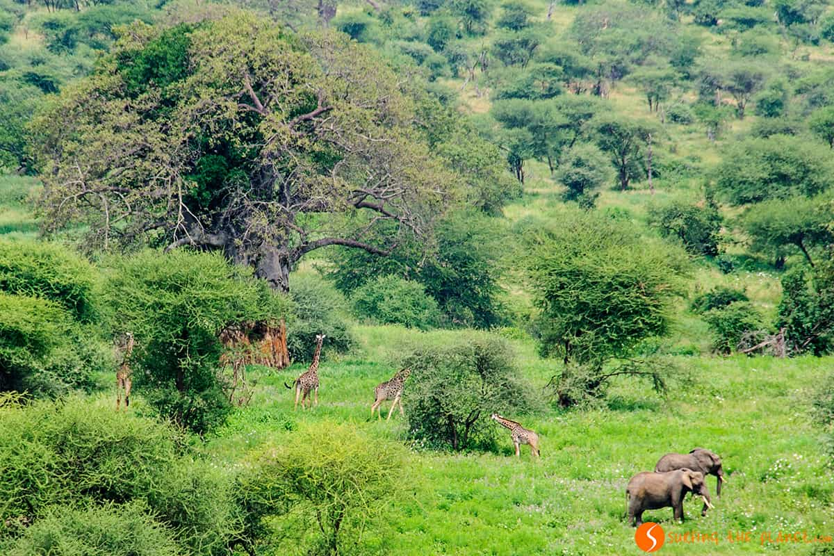 Distant elephants and giraffes in Tarangire Park Tanzania