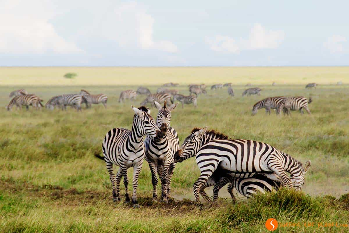 Zebras playing in Serengeti National Park | Visiting Tanzania