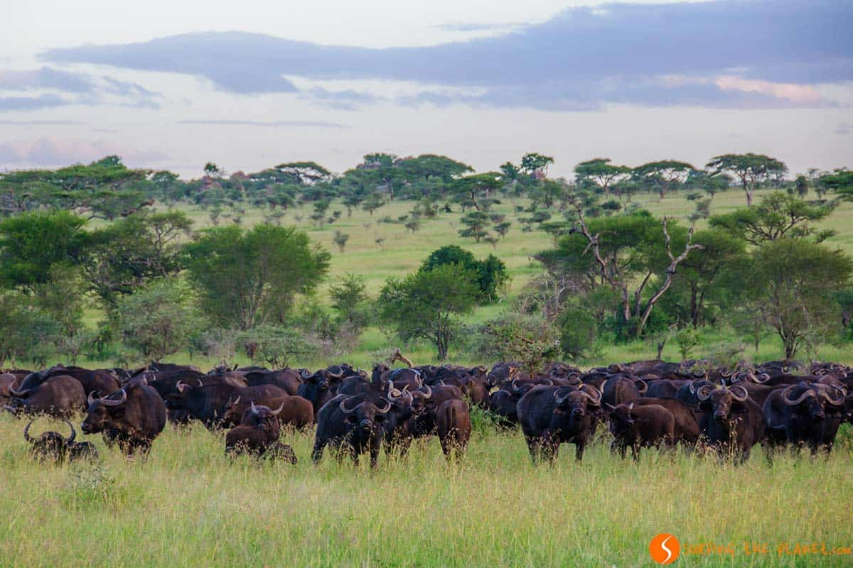 Group of buffalos in Serengeti National Park | Travel in Tanzania