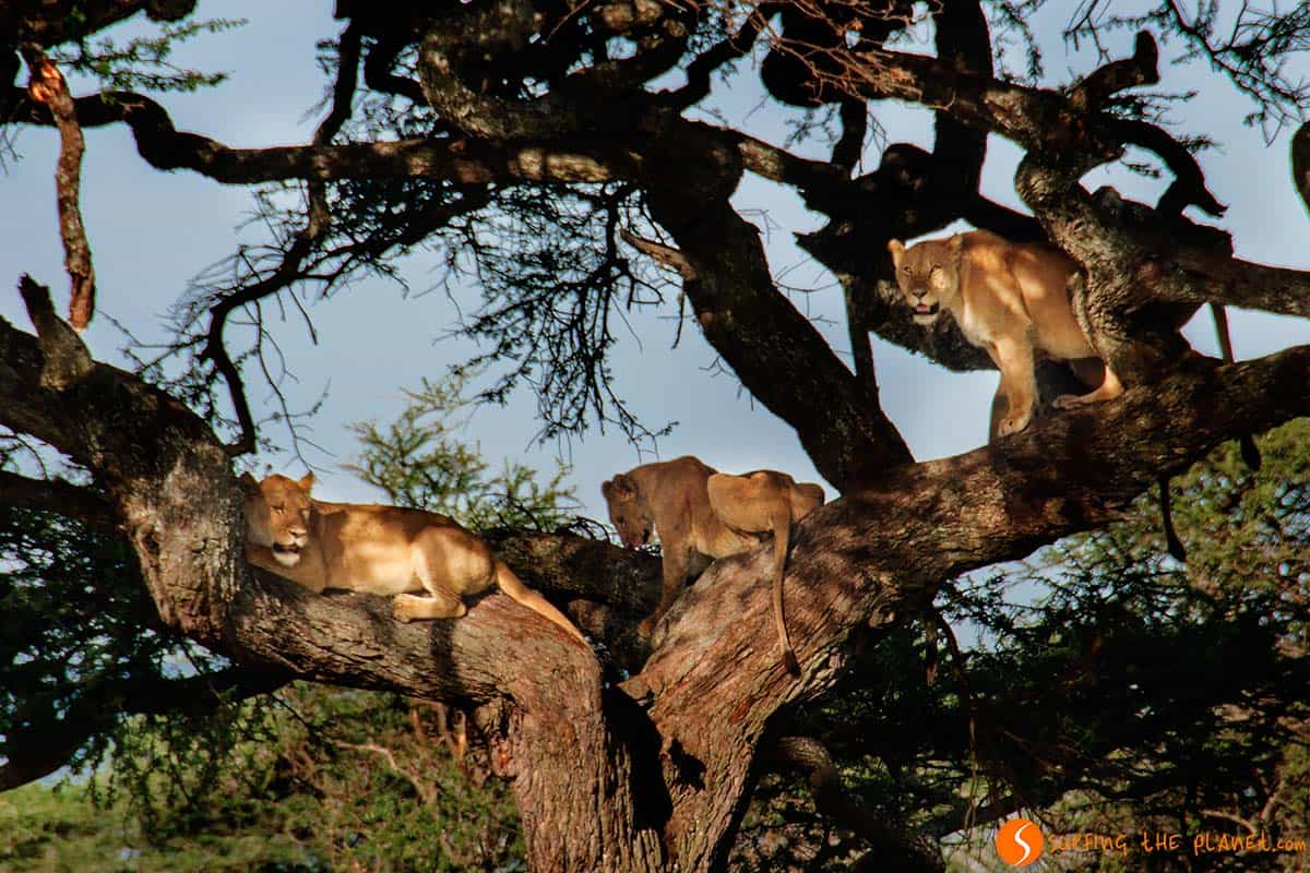 Lions on a tree in Serengeti National Park | Visiting Tanzania