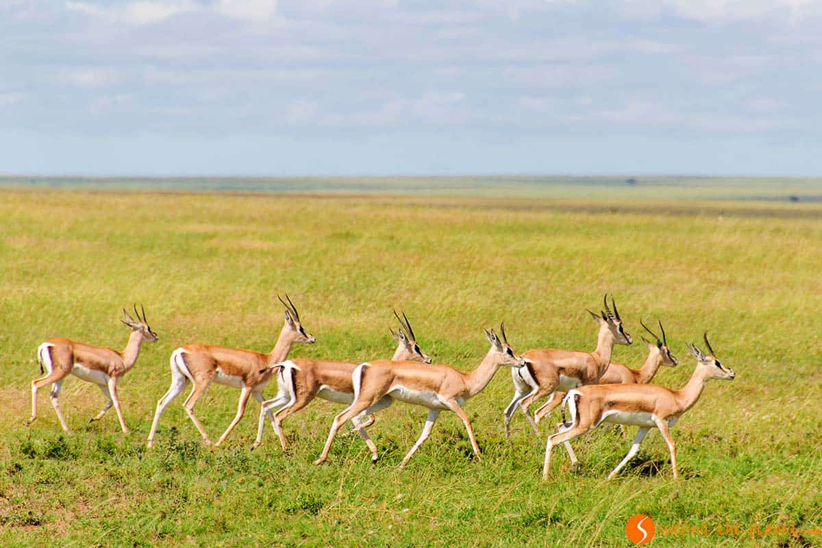 Gazelles running in Serengeti National Park | Visiting Tanzania