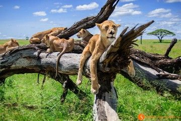 Lions resting in Serengeti National Park | Visiting Tanzania