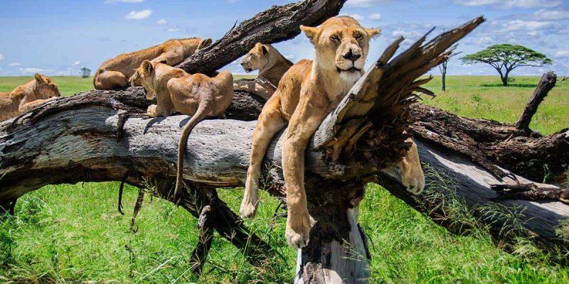Leones en un árbol, Parque Nacional de Serengeti, Tanzania