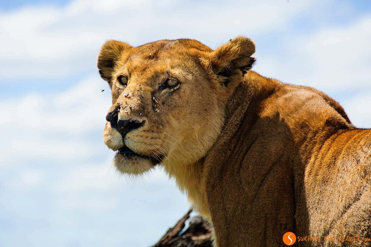 Lion portrait in Serengeti Tanzania