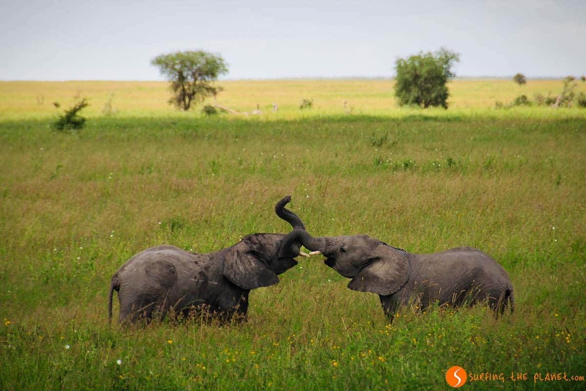 Elephant fight in Serengeti National Park | Travel Tanzania