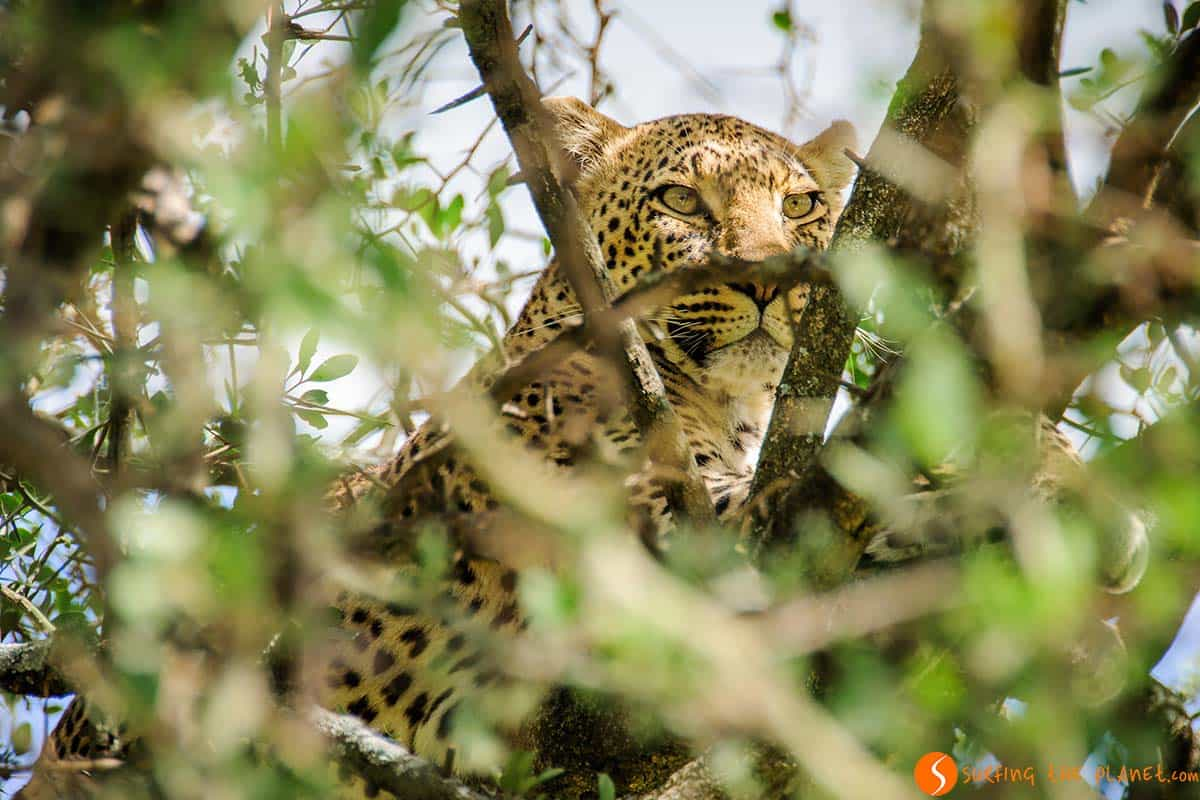 Leopard hiding in Serengeti National Park | Visiting Tanzania