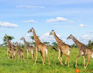 Giraffes walking in Serengeti National Park | Visiting Tanzania