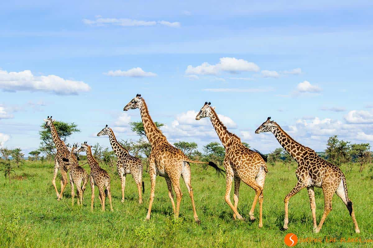 Giraffes walking in Serengeti National Park | Visiting Tanzania