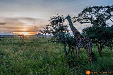 Giraffe and sunset in Serengeti National Park | Visiting Tanzania