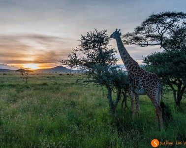 Giraffe and sunset in Serengeti National Park | Visiting Tanzania