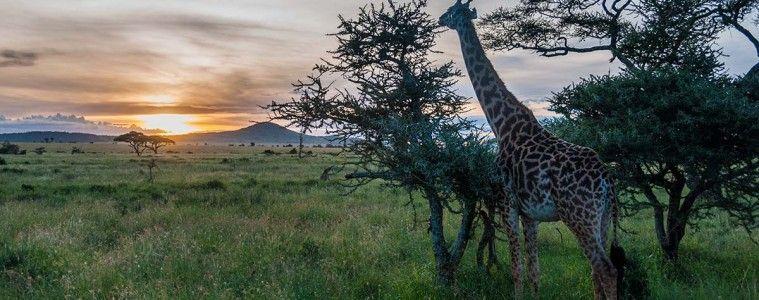 Giraffe and sunset in Serengeti National Park   Visiting Tanzania