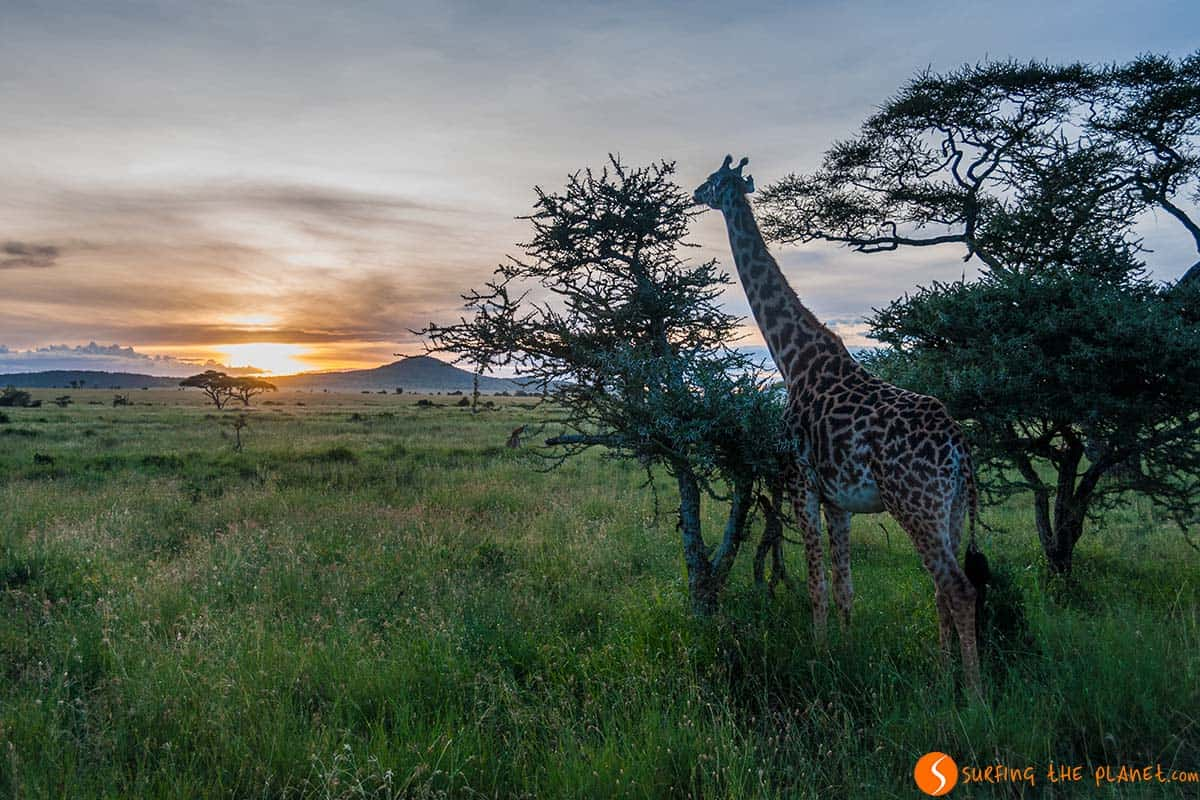 Giraffe and sunset in Serengeti National Park | Tanzania destination