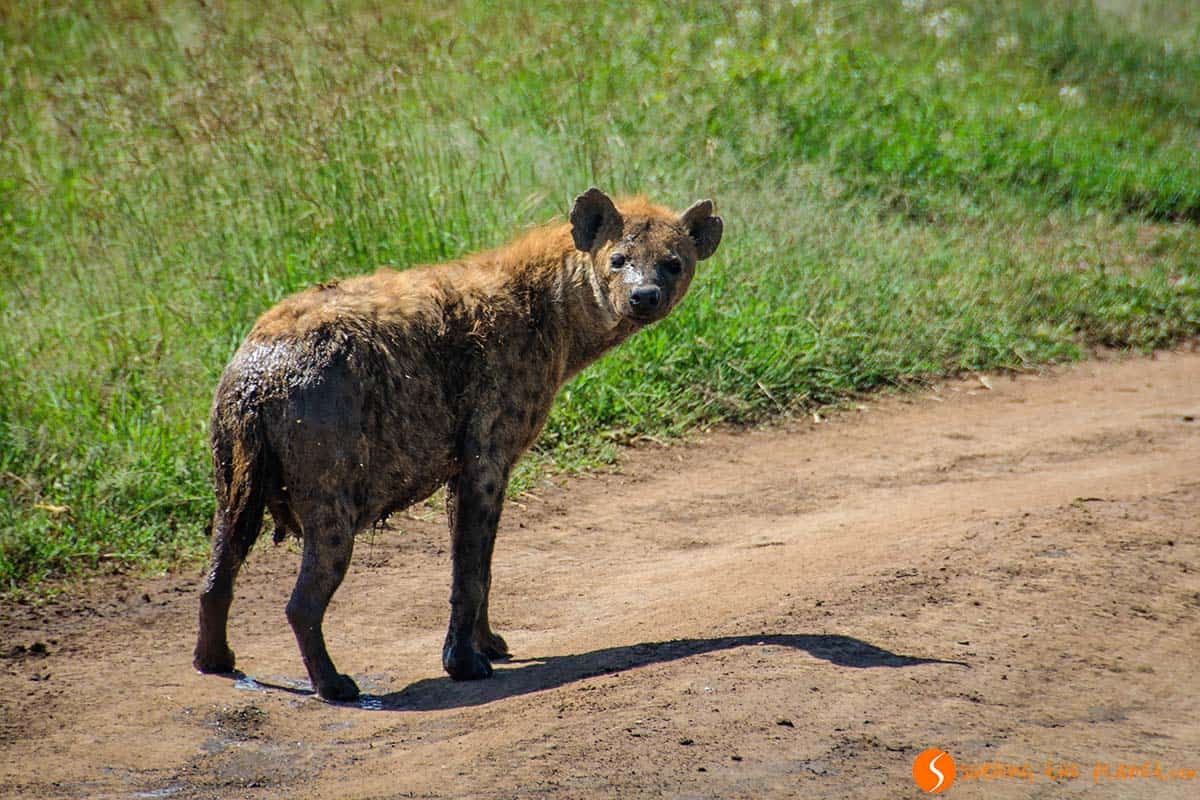 Hiena in Serengeti National Park | Visiting Tanzania