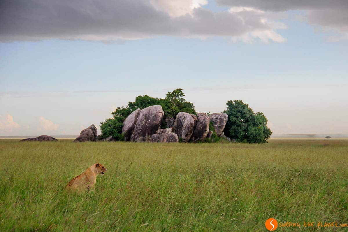 Lion prepared for hunting at Serengeti National Park | Travel Tanzania