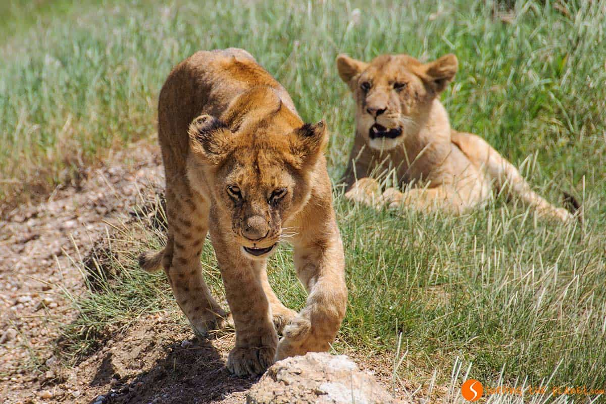 Lion cubs in Serengeti National Park | Visiting Tanzania