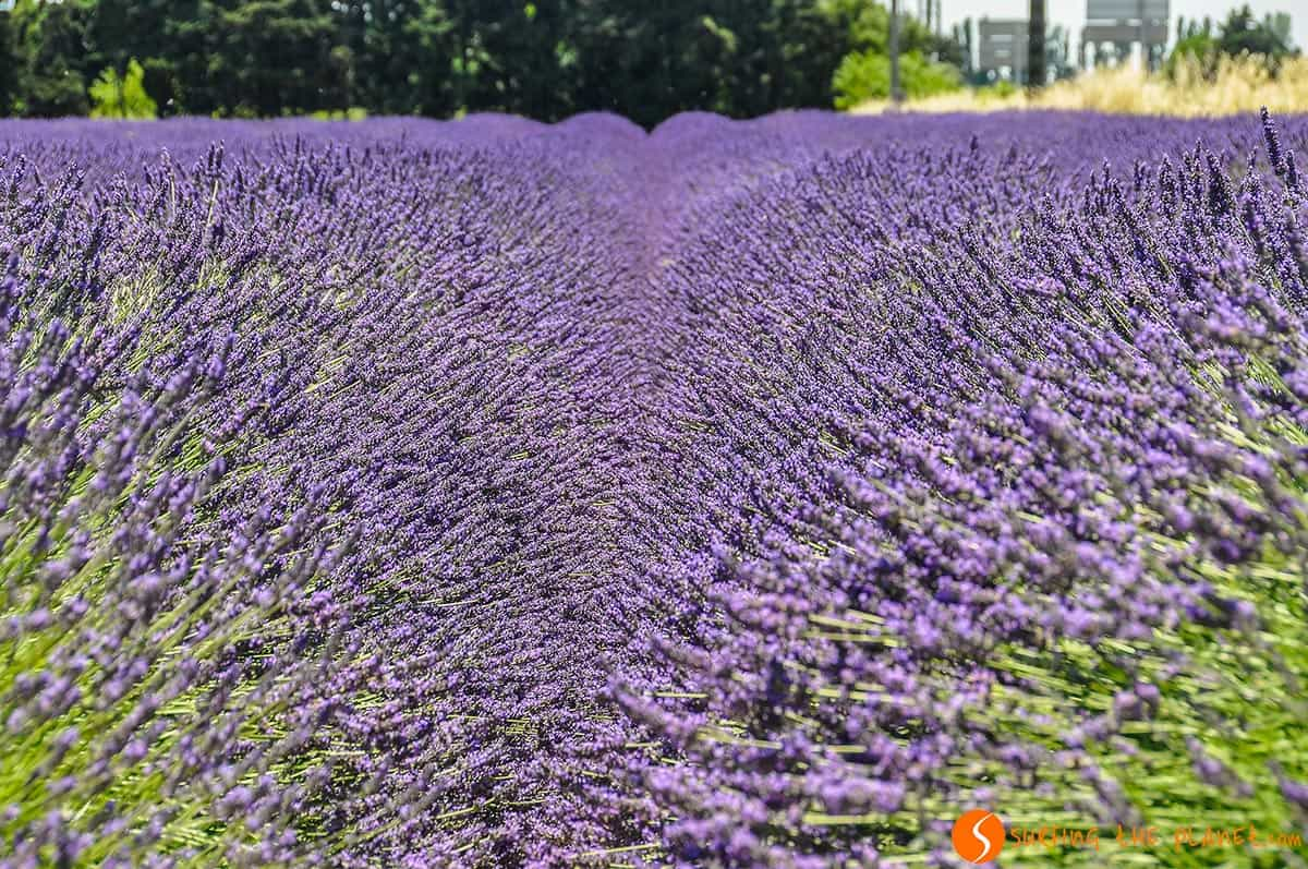 Lavender field close to Grignan | Lavender Route in Provence