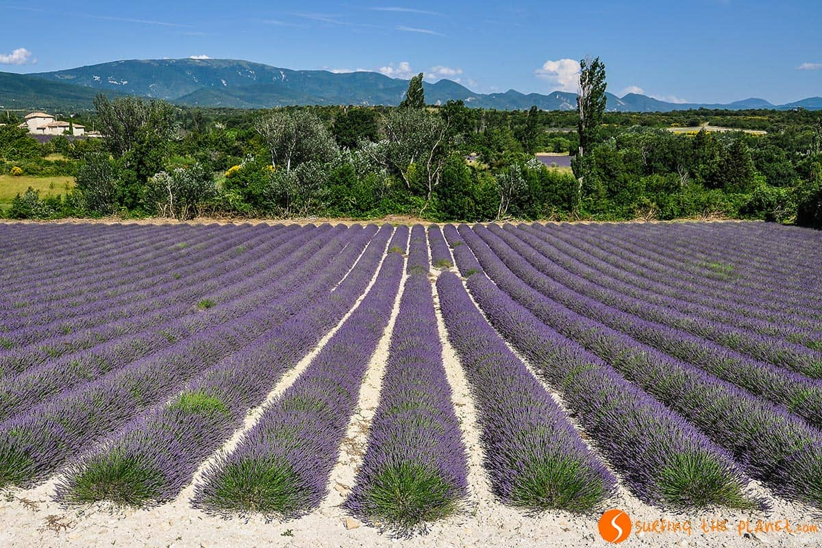 Lavender field in Sallesousbois | Lavender route to Provence
