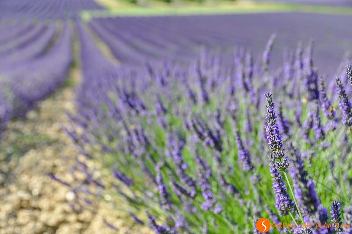 Lavender field near Réauville | Lavender Route in Provence, France