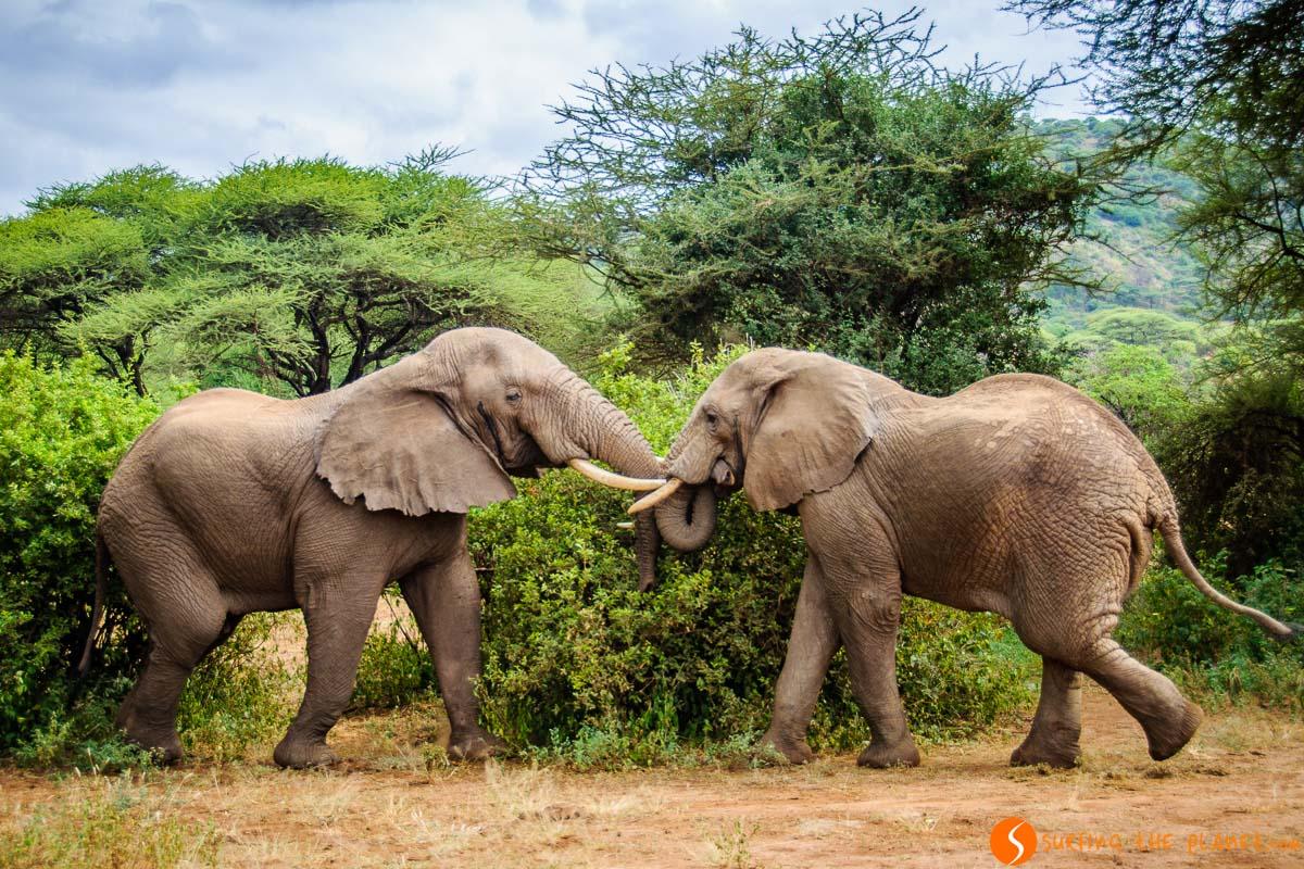 Elefantes luchando, Parque Nacional del Lago Manyara, Tanzania | Safari en Lago Manyara