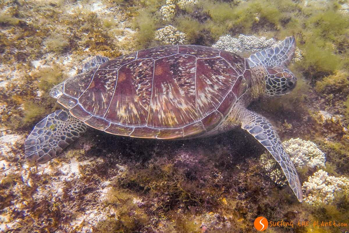 Marine turtle, Apo Island, The Philippines