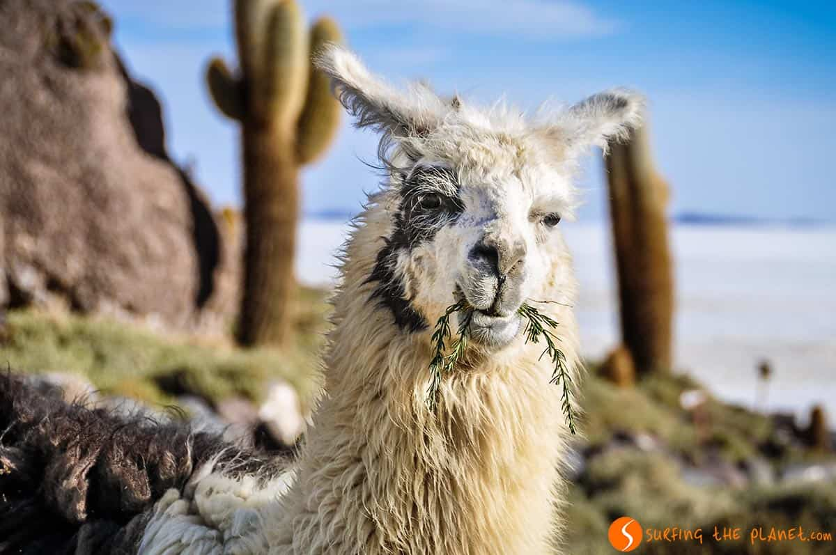 Lama, Salar de Uyuni, Bolivia