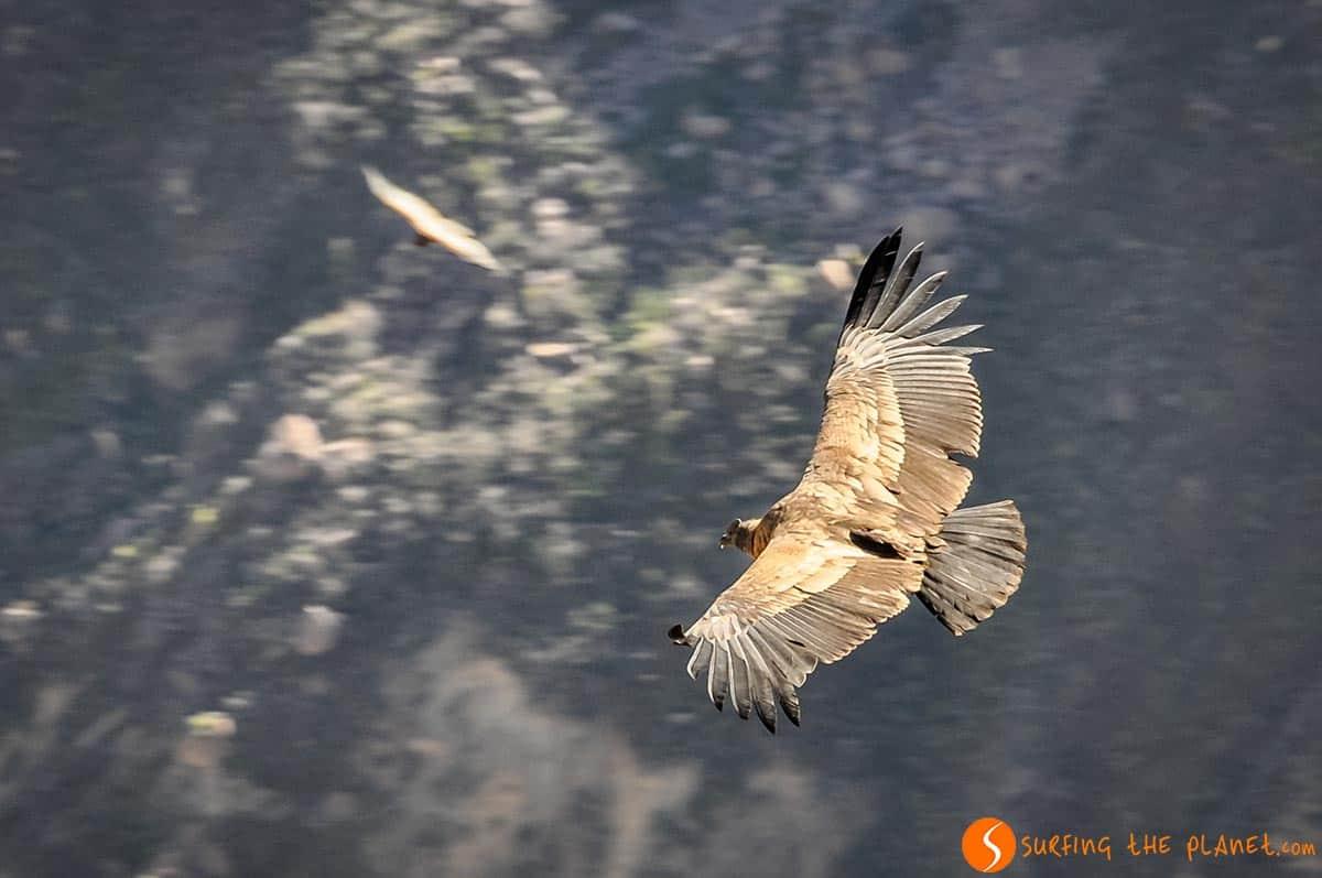 Condor vuela, Cañón del Colca, Peru
