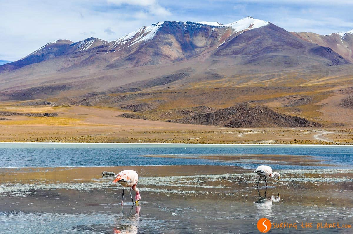 Flamingos in the Eduardo Avaroa National Reserva, Bolivia
