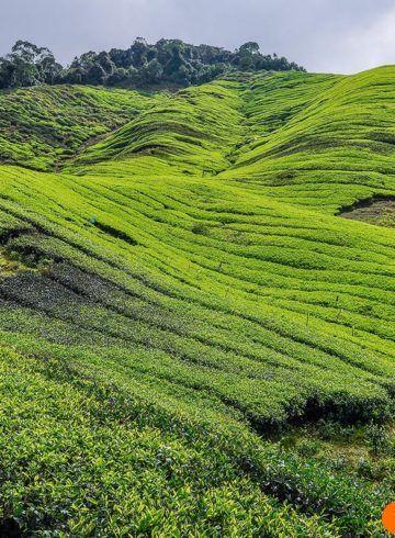 Plantacion de te, Cameron Highlands, Malasia