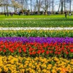 Keukenhof, il parco di tulipani più grande del mondo