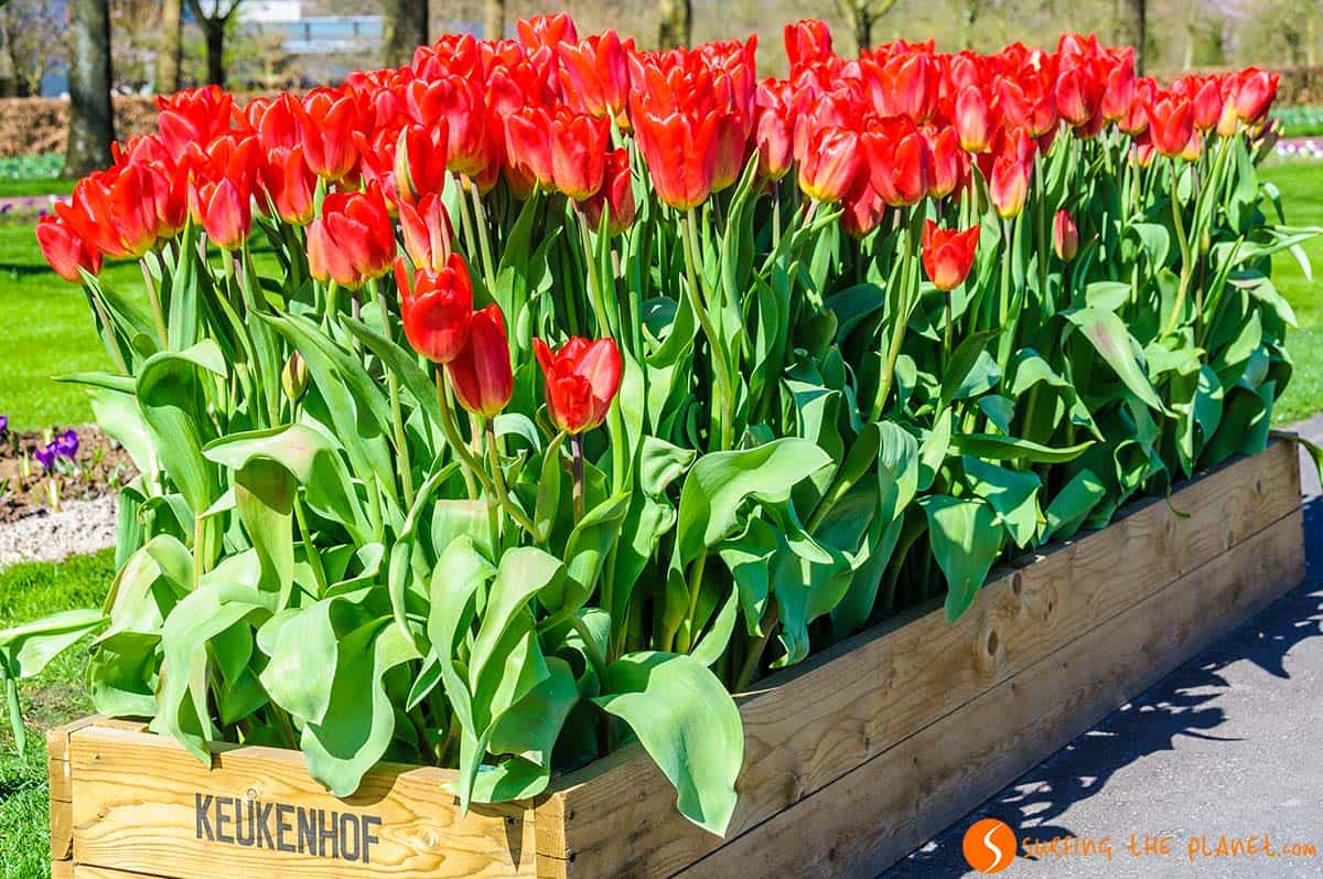 Red tulips, Keukenhof, Holland
