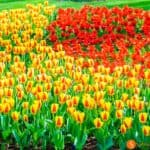 Keukenhof, the largest tulip garden in the world