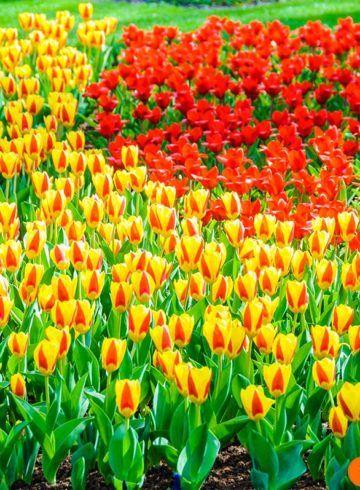 Tulipanes rojos y amarillos, Keukenhof, Amsterdam