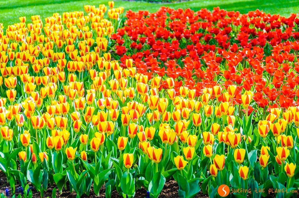 Tulipanes rojos y amarillos, Keukenhof, Amsterdam | Qué visitar en Ámsterdam