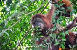 Orangutan en arbol, Sumatra, Indonesia