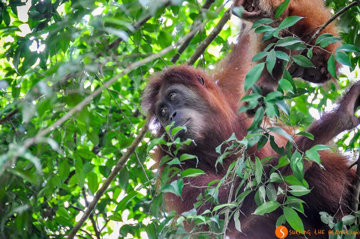 Orangutan en arbol, Sumatra, Indonesia | Viajar a Indonesia