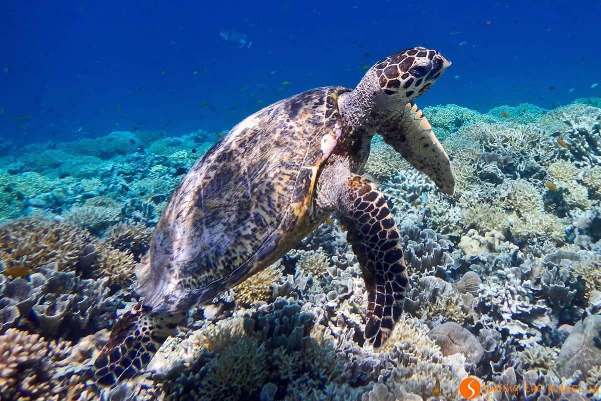 Marine Turtle, Gili Meno Island, Indonesia