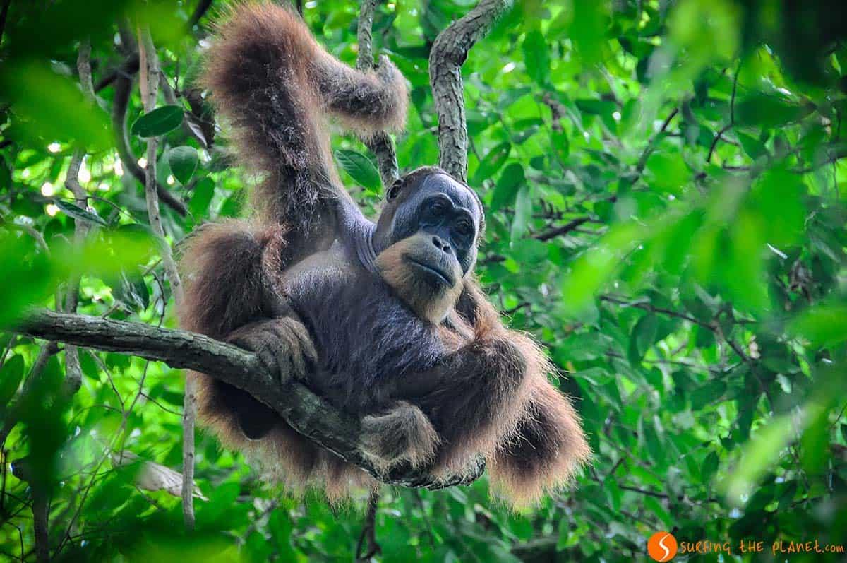 Orangutan en el árbol, Bukit Lawang, Sumatra, Indonesia | Que ver Indonesia 2 semanas, isla Sumatra
