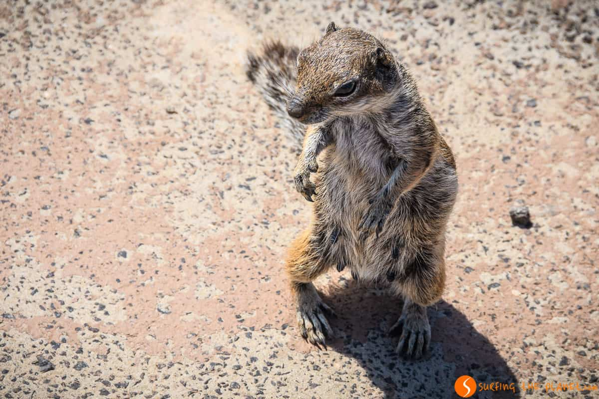 Cute squirrel, Fuerteventura | Things to see and do in Fuerteventura in 4 days