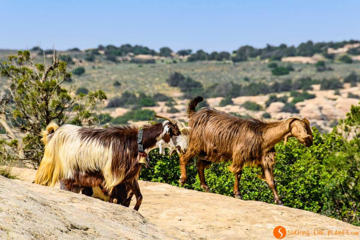 Cabras, Reserva de la Biosfera de Dana, Jordania | Relajarse en la Reserva de Dana