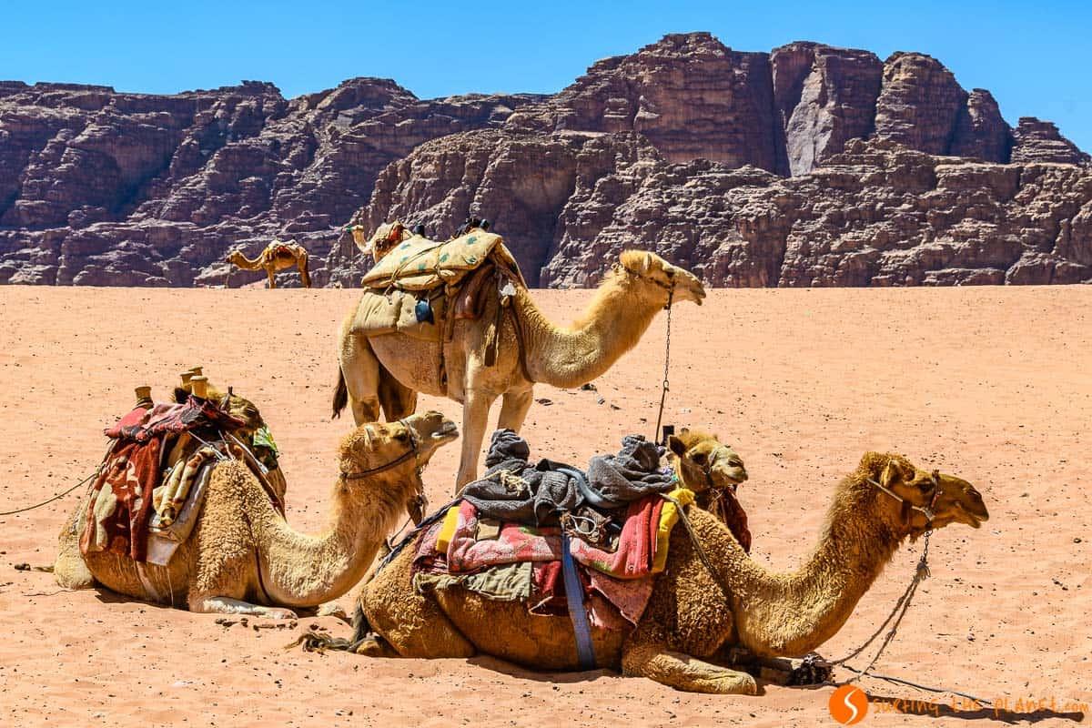 Camellos, Desierto de Wadi Rum, Jordania | Qué ver en Wadi Rum