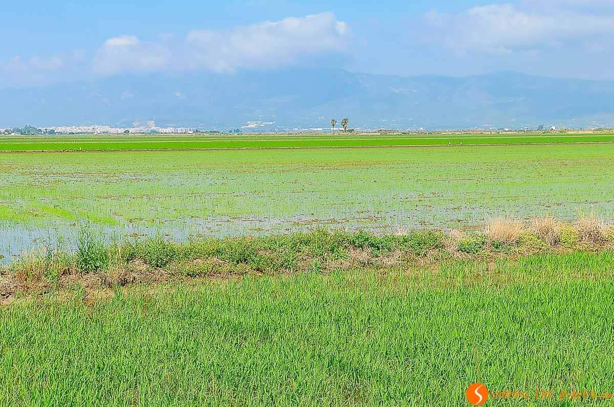 Arrozal inmenso, Delta del Ebro, Cataluña | Qué ver en el Delta del Ebro