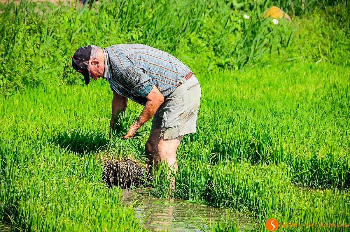 Trabajo en el arrozal, Delta del Ebro, Cataluña
