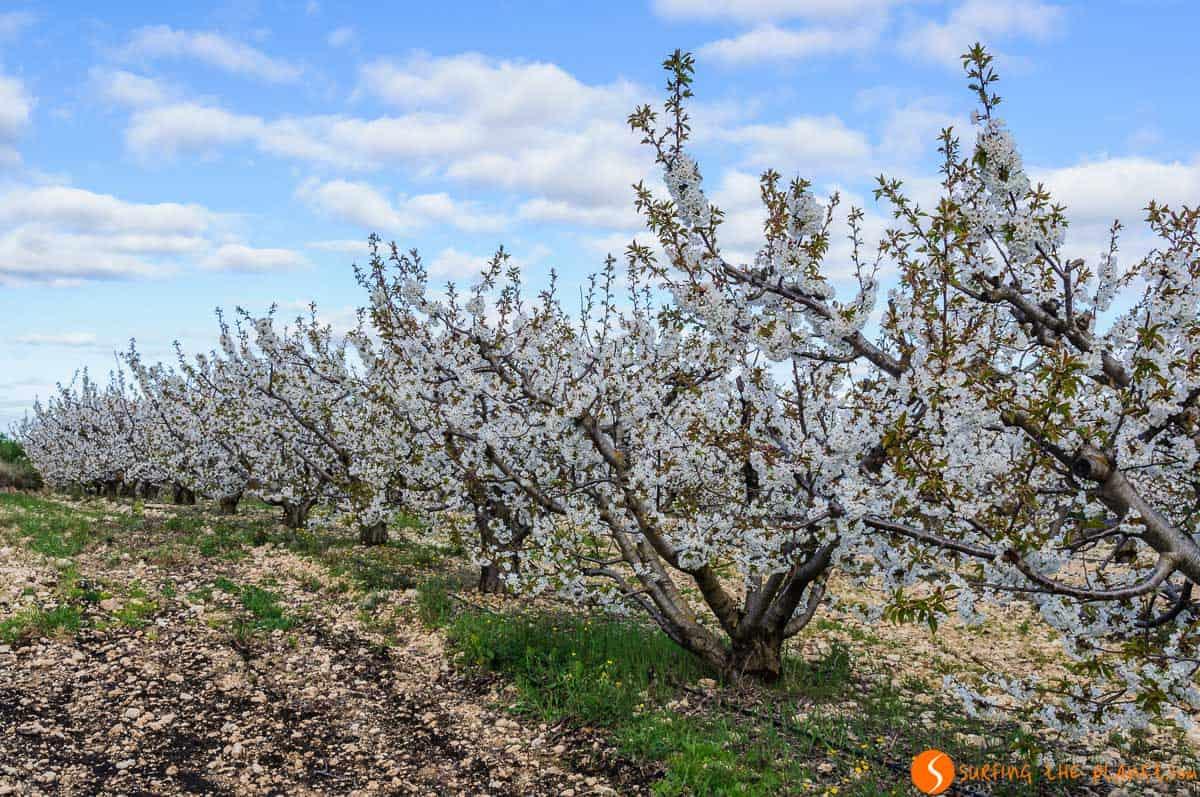 Campo de cerezos, Tivissa, Tarragona, Cataluña