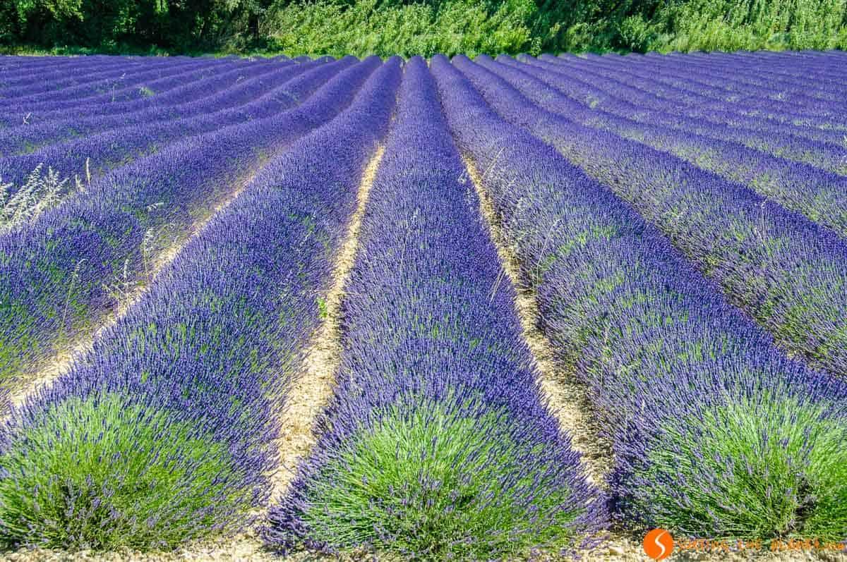 Campo florecido de lavanda, Provenza, Francia | Dónde viajar a ver campos de flor cerca de Barcelona