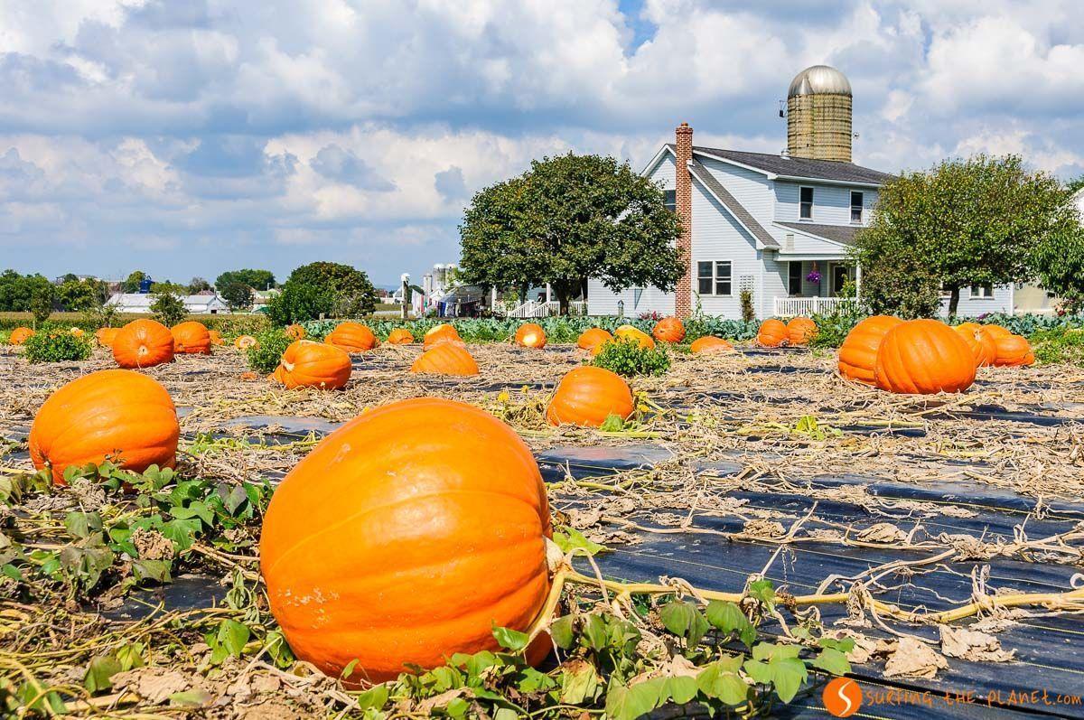Campo de calabaza, Comunidad Amish de Lancaster, Pennsylvania, Estados Unidos