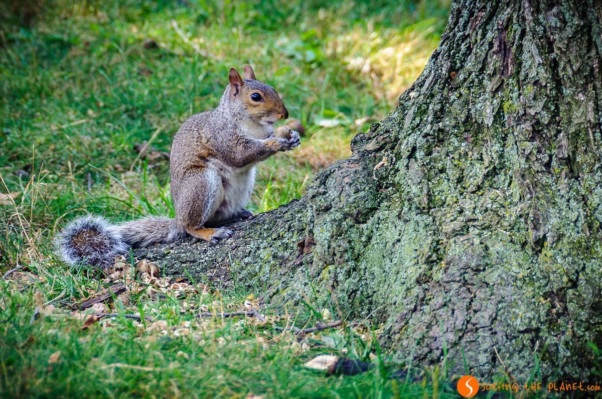 Ardilla, Central Park, Manhattan, Nueva York, Estados Unidos | 1 día en Central Park